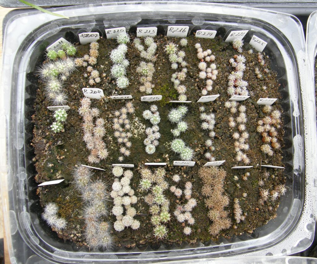 Näsakaktuste seemikud külvikarbis